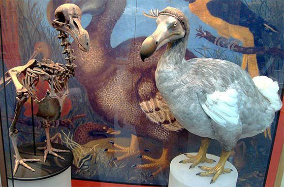 physical-remains-of-dodo