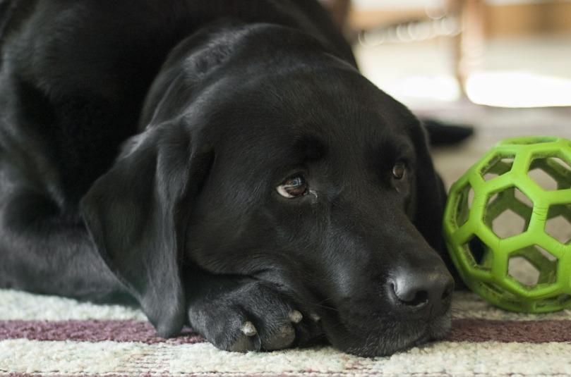 dog-862941_960_720