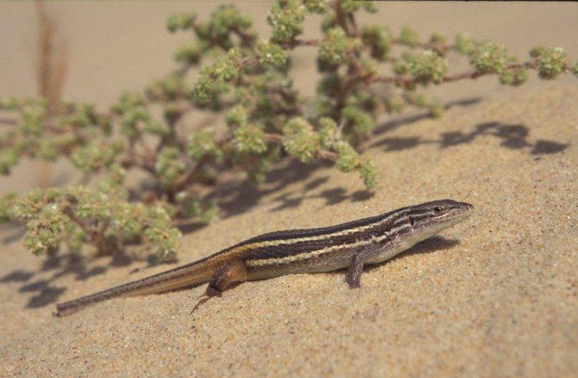 Psammodromus algirus 1, Algerijnse zandloper, Saxifraga-Rob Felix.jpg