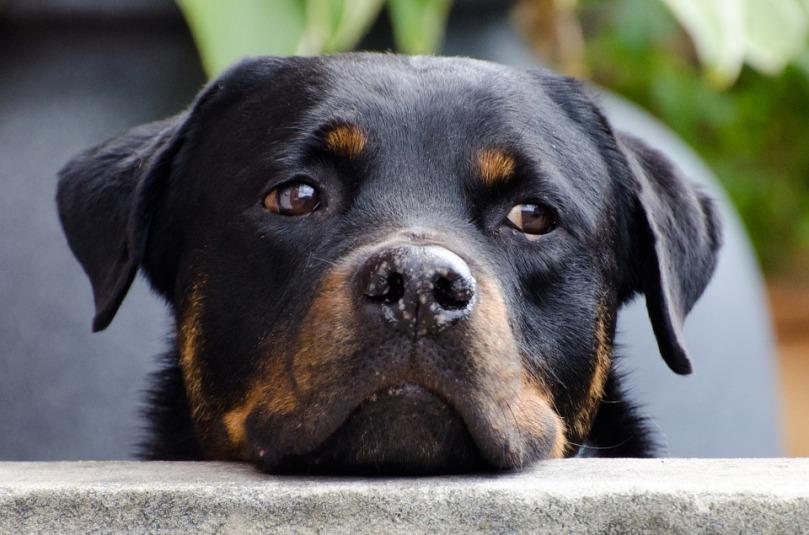 dog-218965_960_720