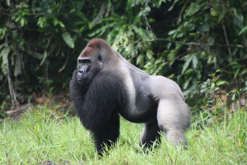 gorille-de-grauer
