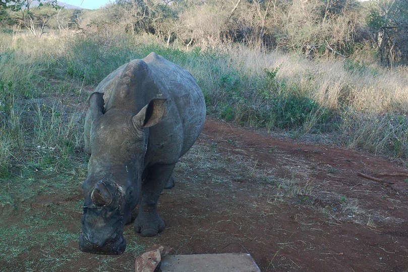 iThemba_rhino_shield_cameratrap_2015-08-18.jpg