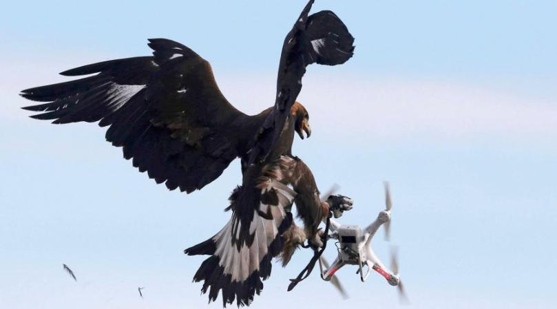 l-armee-de-l-air-enrole-des-aigles-royaux-contre-les-drones_1.jpg