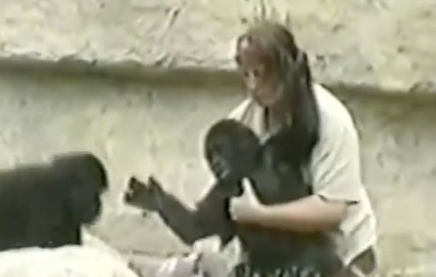 Adorable-footage-of-baby-Harambe-playing-with-zookeepers